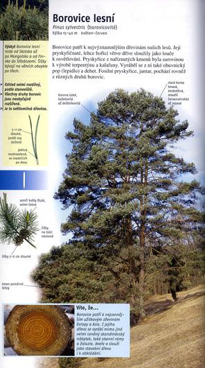 borovice-lesn_531i