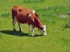 Pasoucí se krávy se nenechaly rušit čmoudícím vlakem